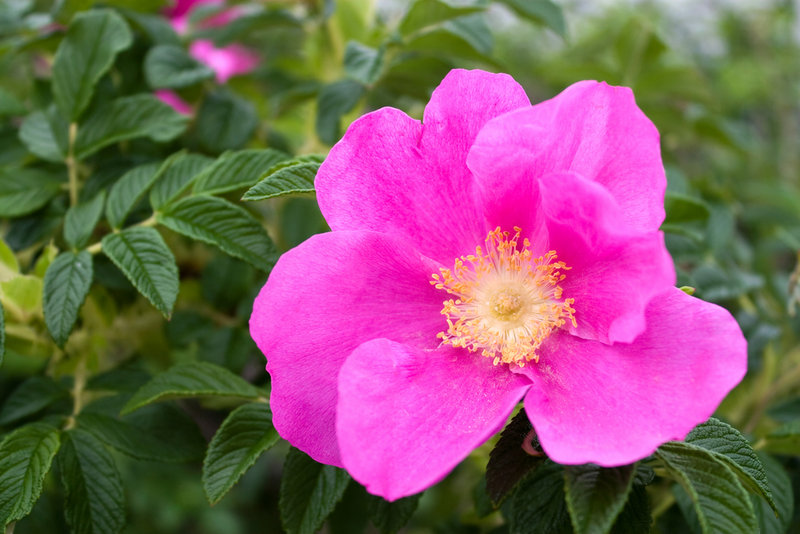 If rugosa roses are growing in a hedge, the hedge left unchecked can grow to 10 feet high. That may be OK if a homeowner is looking for a privacy screen, but it can also block views. The answer is pruning.