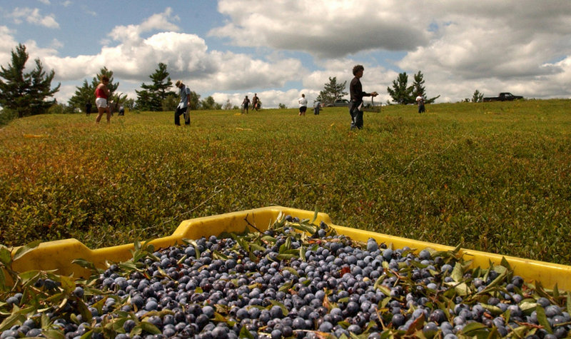 Blueberry rakers work in a field in Centerville Township leased by Tonia Smith of the Passamaquoddy tribe. Although Maine voters rejected a racetrack casino last Tuesday, the tribe is looking to wind, water and land for other economic development.