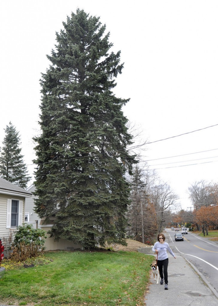 Carolyn Sivik and Molly pass by a blue spruce Tuesday at 89 Evans St. in South Portland. Owners Allan and Lori Huff agreed to donate the tree to the city of Portland for display at Monument Square for the holiday season.