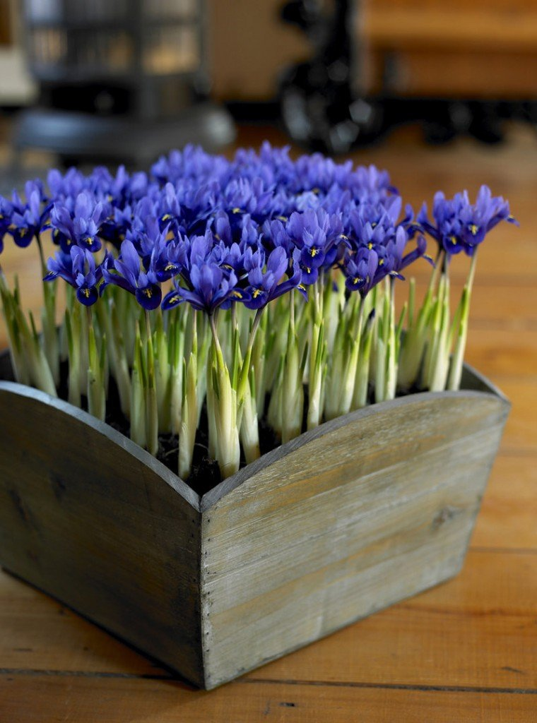 Spring-blooming bulbs can come indoors in creative containers such as this small iris in a wooden box.