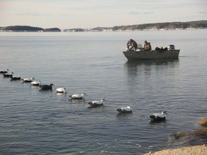 Decoy spreads such as this are essential for luring in fast-flying eiders. The decoys don't have to be elaborate to lure the eiders.