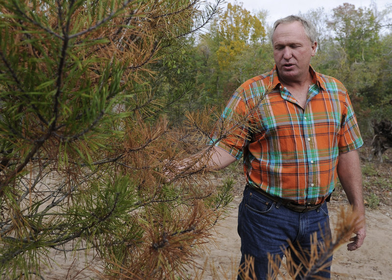 David Barfield checks a dying tree at his Christmas tree farm in New Caney, Texas, earlier this month. This year's historic drought has killed thousands of trees across Texas and Oklahoma.