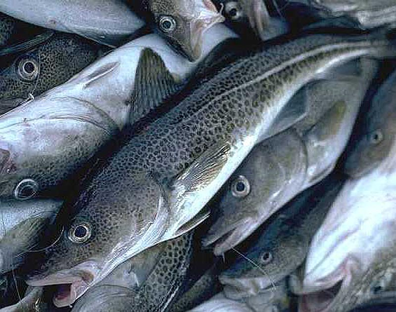 A new report says the population health of Gulf of Maine cod is rapidly declining, which — if accurate — would mean major trouble for the local economy.