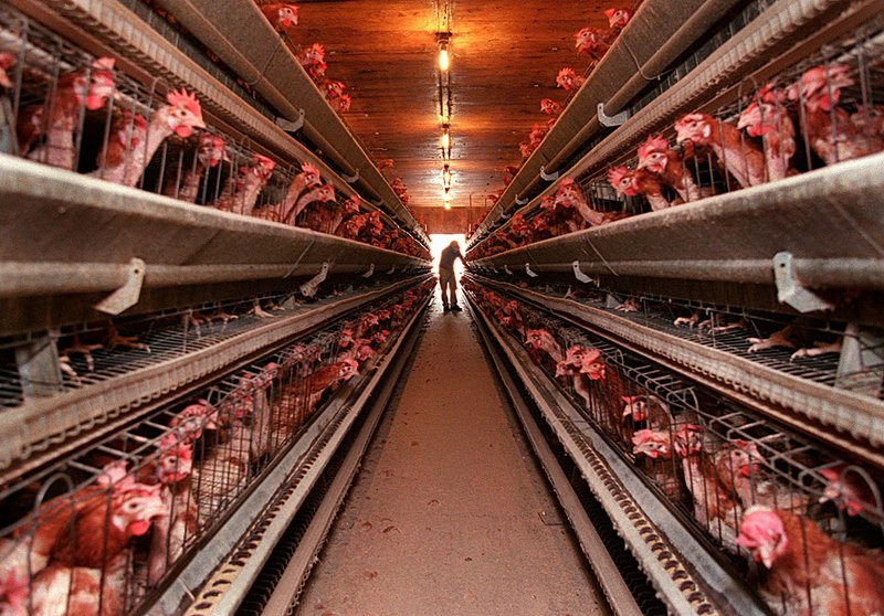 A worker at DeCoster Egg Farms, above, works in one of the company's many chicken barns, where thousands of birds are kept.