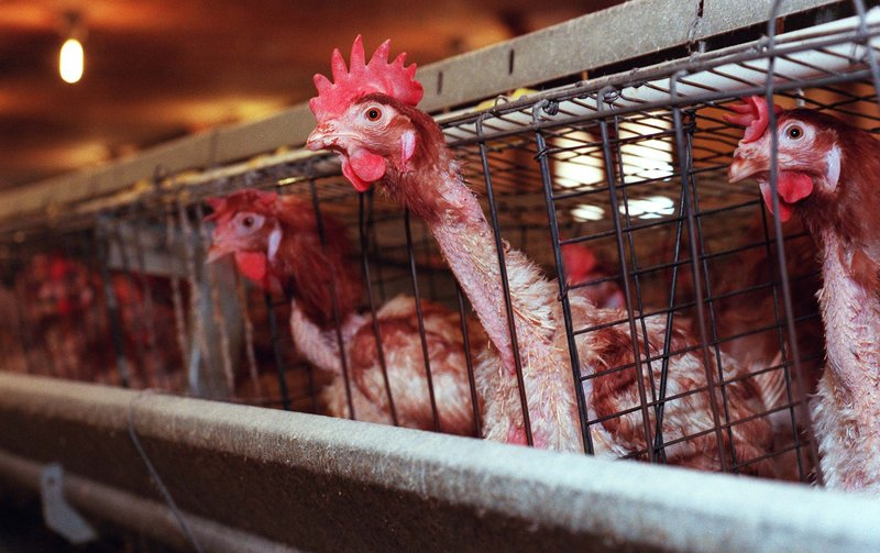 """At left, a chicken stretches its featherless neck through the wire of its cage as a visitor passes by. The birds are kept four to a cage and spend their lives standing on a wire floor. The egg farm's new operators say they plan to be """"a highly responsible operator, a strong economic contributor, and a good neighbor"""" in Maine. Critics of the company, however, say they doubt much will change."""