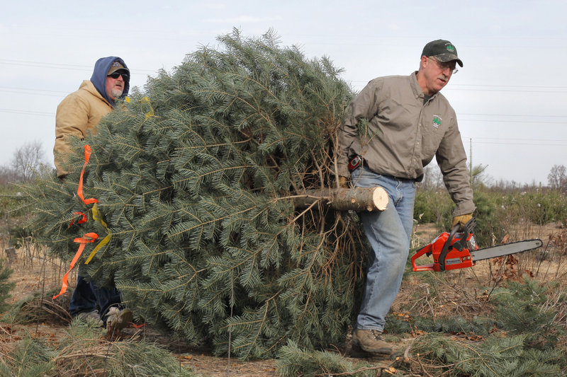 Whether cutting one at a farm or buying one, putting up a real Christmas tree in your home is better for the atmosphere than using an artificial one, according to environmentalists. But makers of fake trees argue that their product is a greener choice.