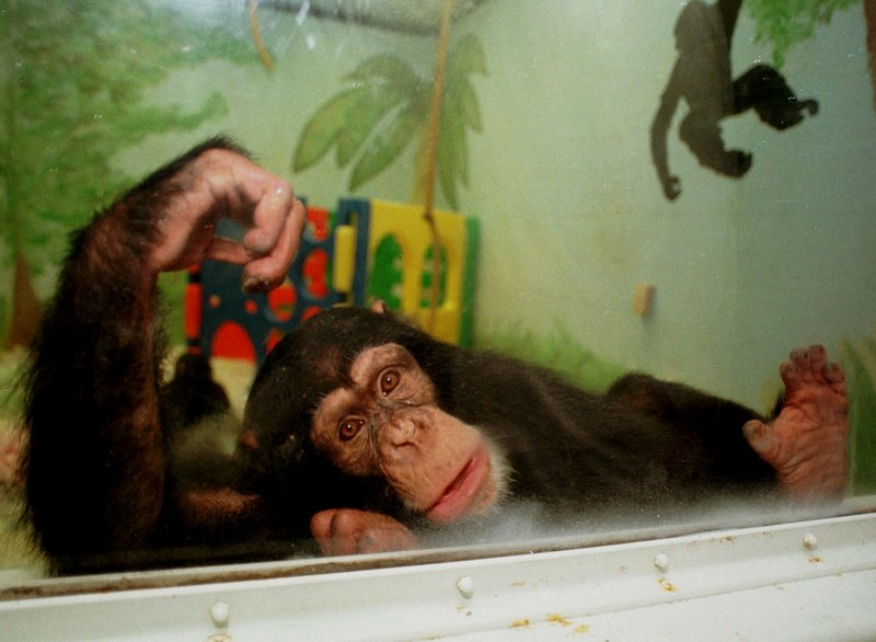 Keeli, a chimpanzee living at the Ohio State University animal laboratory, looks out from his playroom in 1999.