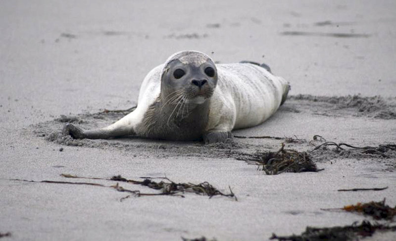 A harbor seal on a New Hampshire beach shows signs of distress in September, when a New England die-off occurred.
