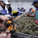 At a processing plant in Portland last week, a sea urchin is split open to reveal the bright orange roe. During the peak years of the mid-1990s, the harvest topped 30 million pounds a year for three years in a row, with a peak of 42 million pounds. By 2010, the harvest had dwindled to just 2.6 million pounds, the smallest yield since 1987.