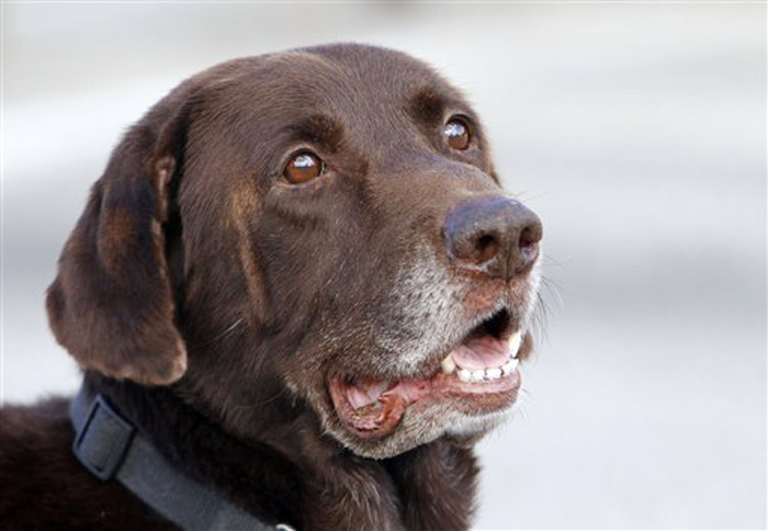 A Dec. 6, 2011, photo of Miami-Dade retired narcotics canine Franky, whose super-sensitive nose is at the heart of a question being put to the U.S. Supreme Court.