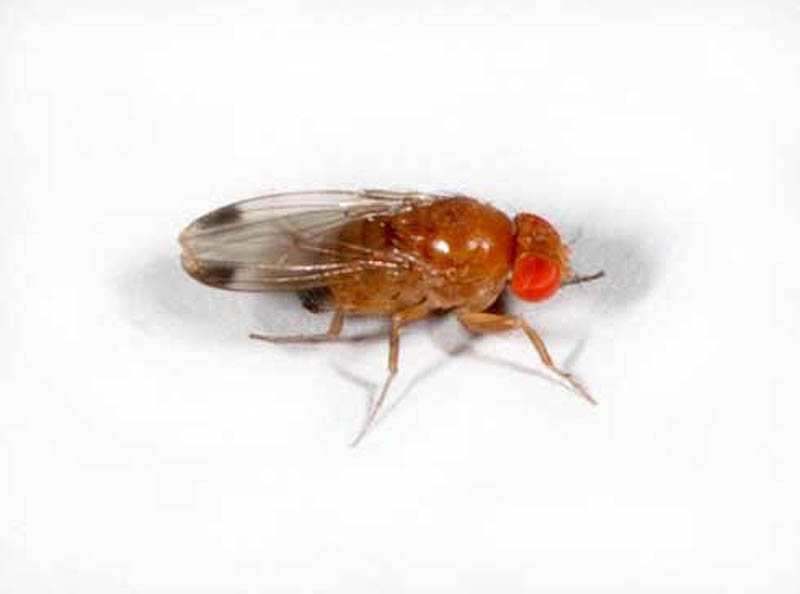 Male Drosophila Suzukii