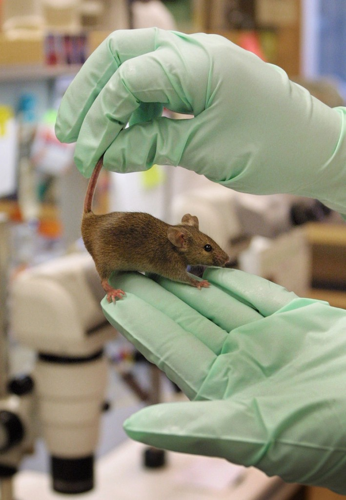 The Jackson Laboratory chose Connecticut over Maine for its new research facility, but the expansion will still produce new jobs at its Bar Harbor facility, the world's center for mouse genetics, a company official says.