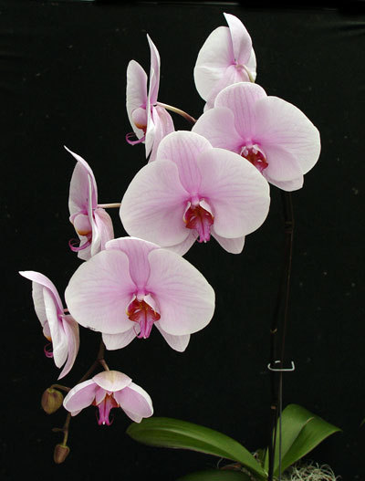 The phalaenopsis, or moth orchid, is available nowadays even in big-box stores. The single biggest reason they fail is improper watering.