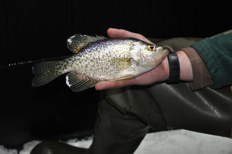 Black crappie like this one are found in more than 50 lakes and ponds throughout the state of Maine.