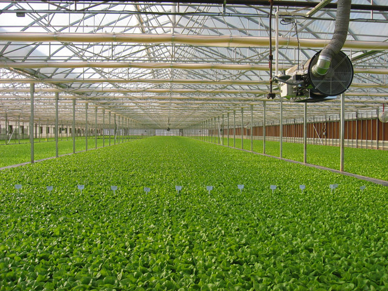 Boston lettuce grows on floating raft technology in China in a facility similar to the one that John der Kinderen of Arundel hopes to build at Sebago Farms in Windham.