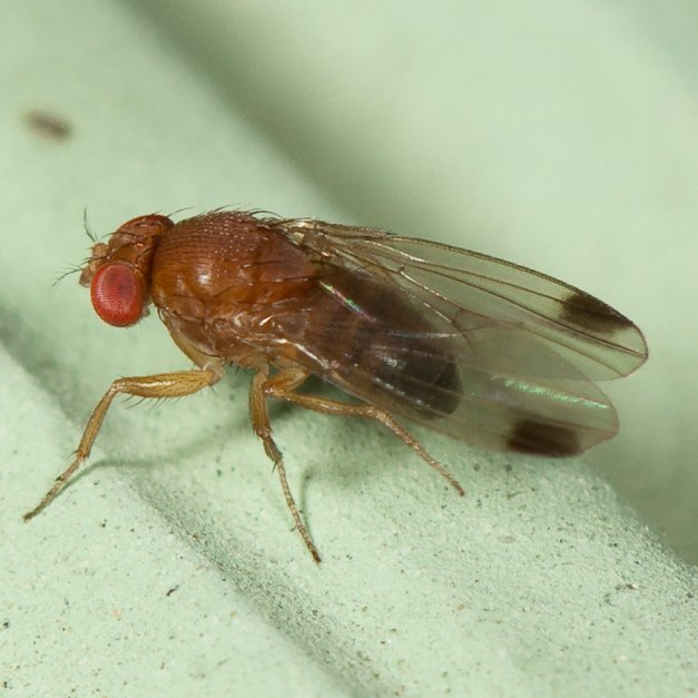 The spotted wing drosophila