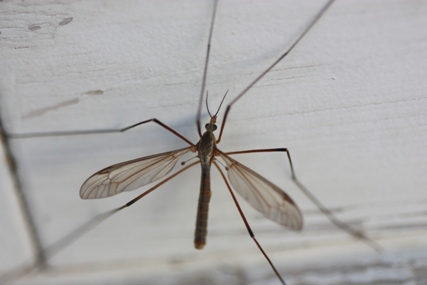 The European crane fly
