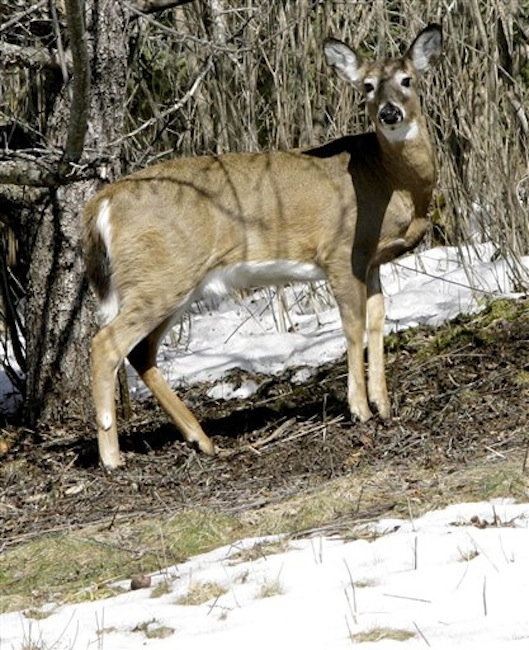 In this March 2007 file photo, a deer looks up from grazing under a tree in Sharon, Vt. All signs are pointing to a booming deer population this year in Vermont and New Hampshire, given a mild winter with little snow. (AP Photo/Toby Talbot)