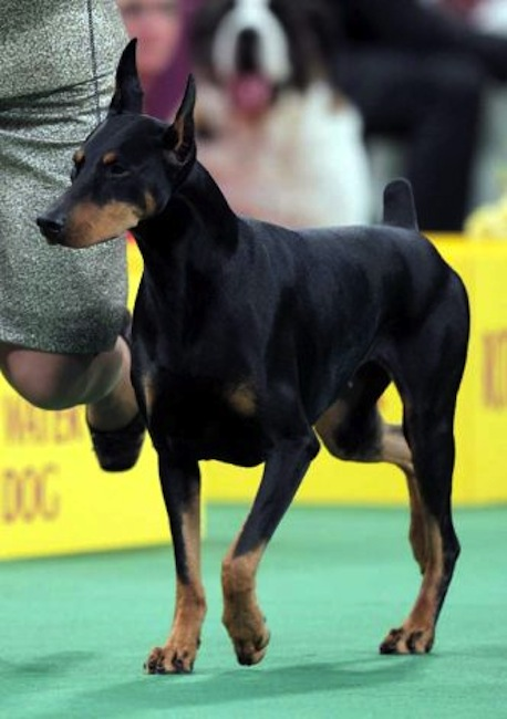 Protocol's Veni Vidi Vici, a Doberman pinscher, who won its group, runs during the judging of the Working Group at the 136th annual Westminster Kennel Club dog show. (AP Photo/Seth Wenig)