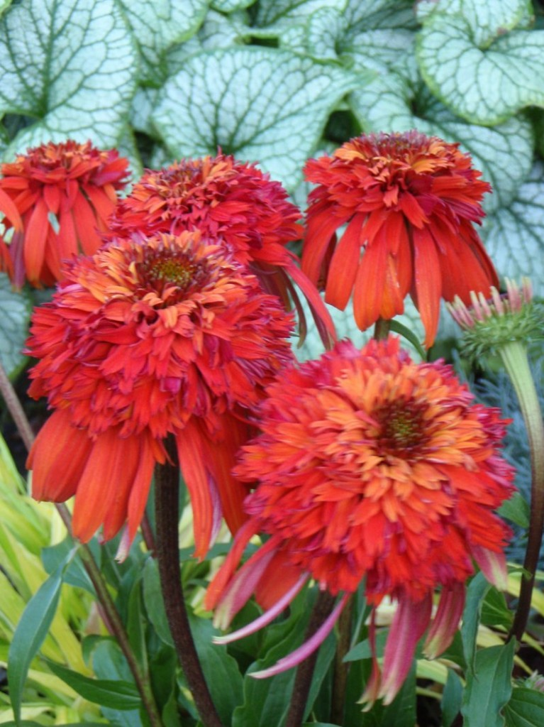 """Hot Papaya"" echinacea"