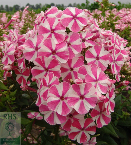 """Peppermint Twist"" phlox"
