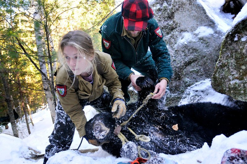 Lisa Bates and John Wood with the Department of Inland Fisheries and Wildlife remove a sedated mother bear from her den in the woods of Washington County to check on her general health, weigh her and replace her radio collar.