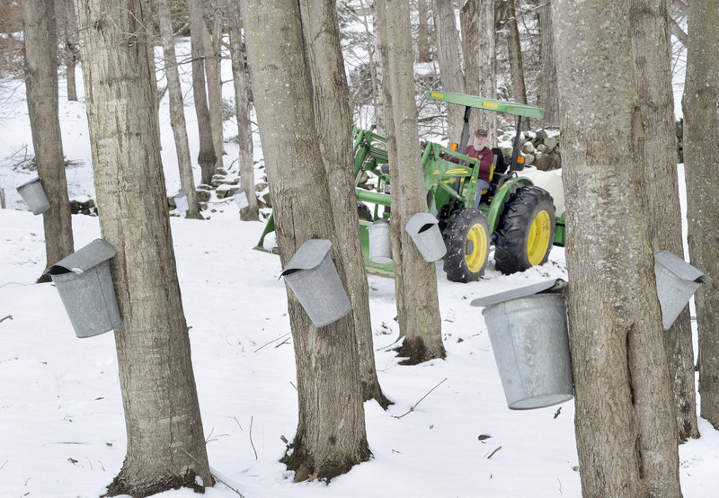 Bruce Bryant maneuvers a tractor through the maples. This winter's mild weather has reduced the snow cover and made it easier to navigate the woods to collect sap, but it also could cause the maples to bud early, shortening the sap season.