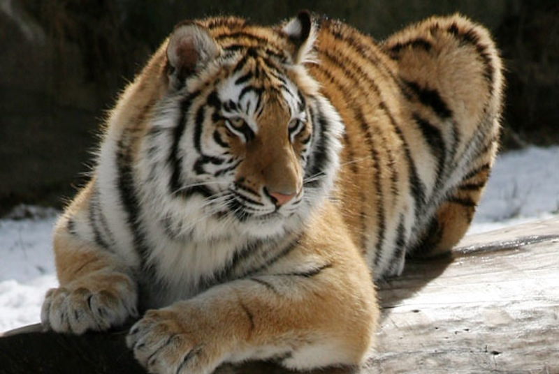 Kya, one of two Bengal tigers at Southwick's zoo.