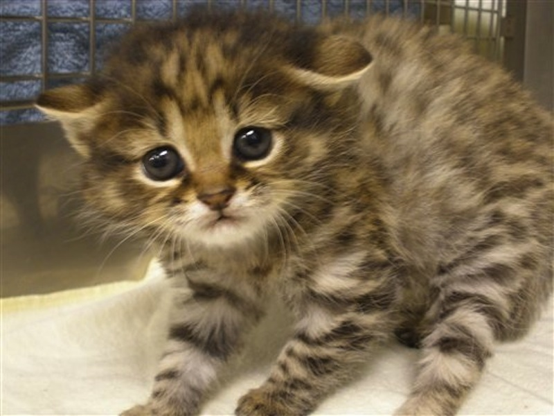 This photo provided by Audubon Center for Research of Endangered Species shows a eight month old kitten named Crystal. A fierce, tiny kitten is proof that black-footed cat embryos can be successfully implanted into housecats and that there are still kinks to be worked out in cloning the southern African species. Crystal is a test-tube kitten, her embryo created by in vitro fertilization and implanted into the womb of a domestic cat which gave birth Feb. 6 at the Audubon Center for Research of Endangered Species. She's also among fewer than 80 black-footed cats in zoos and collections such as ACRES. (AP Photo/Audubon Center for Research of Endangered Species)