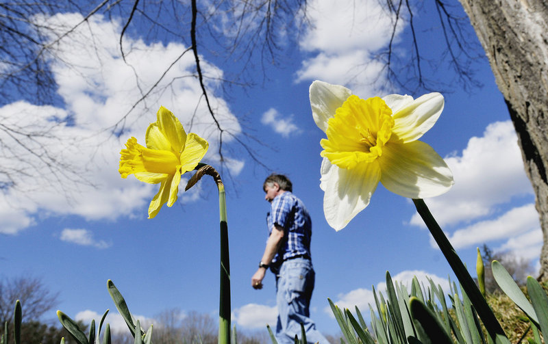 Gary Sams walks Wednesday through Laurel Hill Cemetery in Saco, where some of the daffodils are in bloom a month earlier than usual, said Gail Lemieux, an administrative assistant there. The high in Portland reached 79, smashing the old record of 60.