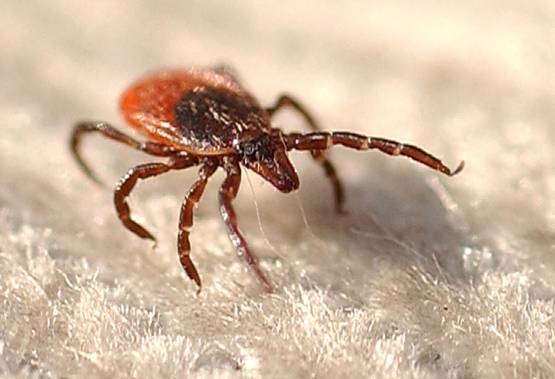 A September 2010 photo of a female deer tick on the corduroy flag used by researchers to collect ticks along a trail through Crescent Beach Park.