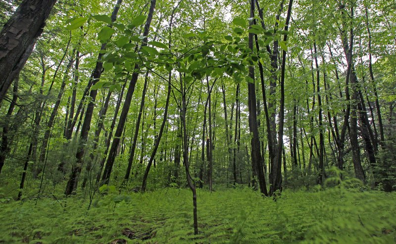 A black cherry tree sprouts up in a stand of birch trees on protected conservation land in Weston, Mass. Researchers say Massachusetts has enough forest cover to absorb a million homes' worth of carbon emissions.