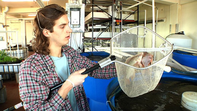 Andrew Fernitz, a partner in 312 Aquaponics in Chicago, holds a net containing tilapia in an old meat-packing plant where the business has taken up residence. Water containing waste from the fish is used to fertilize greens, which filter out the nutrients.