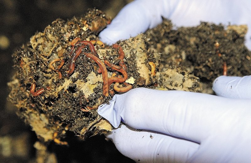 Jonathan Dyer holds some red wiggler worms at Black Gold Vermiculture & Research, which he operates out of the basement of his Belgrade home.