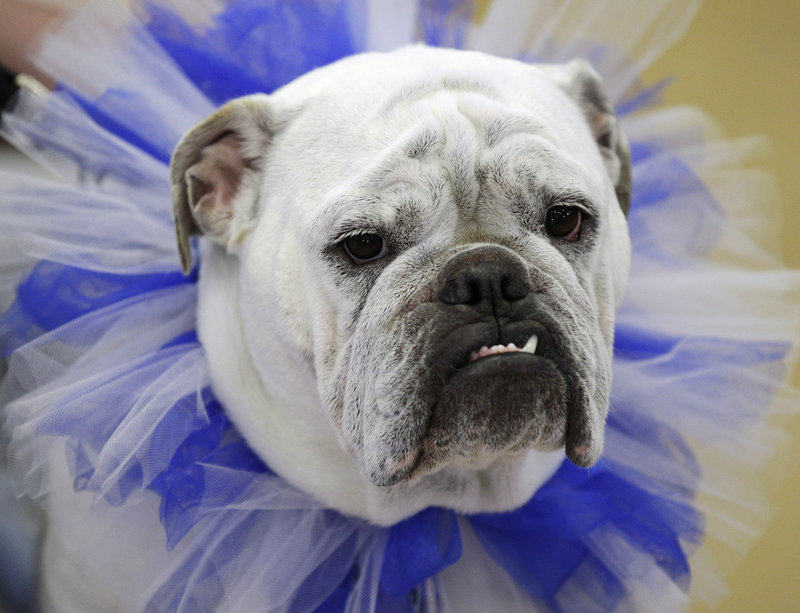 Tyson, owned by Tyler and Chelsea Motter, of Urbandale, Iowa, sits on the throne after being crowned the winner of the 33rd annual Drake Relays Beautiful Bulldog Contest on Monday in Des Moines, Iowa. The pageant kicks off the Drake Relays festivities at Drake University, where a bulldog is the mascot.