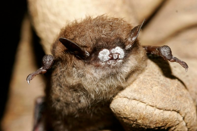 A bat from a New York cave exhibits the signature frosting of fungus from white-nose syndrome. Officials say the disease has killed 5.5 million bats in North America.
