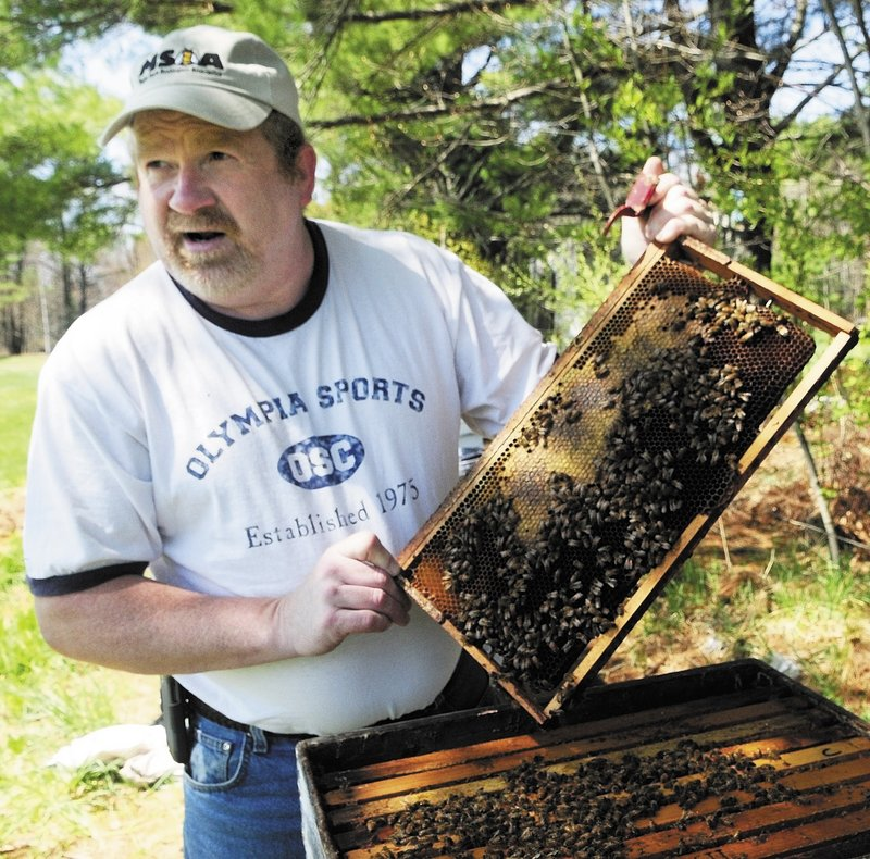 Roy Cronkhite of Livermore Falls checks one of his hives Saturday to make sure the queen bee had plenty of empty cells left in the wooden frames of the hives to deposit eggs. He pulled out three frames until he found the queen.