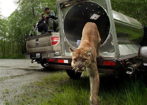 An approximately 2-year-old female cougar leaves a Washington Department of Fish and Wildlife trap northeast of Arlington, Wash., Wednesday, May 23, 2012. The cougar was trapped on Tuesday when it was spotted too close to an area populated by humans. After receiving a tag, Washington wildlife agents were ready to release a captured cougar back into the wild northeast of Arlington, but it didn't want to go. They banged on the back of the cage, poked the cougar with a pole and tilted the cage and tried to slide her out, but she wouldn't budge. The Daily Herald reports a puff of pepper spray finally drove the cougar into the woods. (AP Photo/The Daily Herald, Mark Mulligan) cougar trap mountain lion release tag fish and wildlife washington state department
