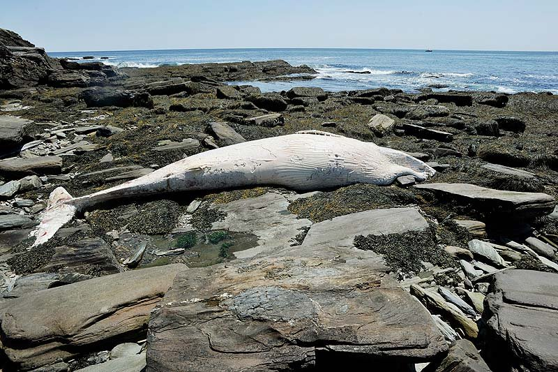 The carcass of a whale has washed up on the rocky shoreline near Two Lights State Park in Cape Elizabeth.