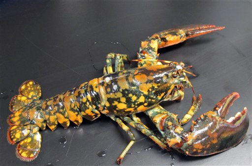 This rare calico lobster was caught off Winterport and discovered by Jasper White's Summer Shack.