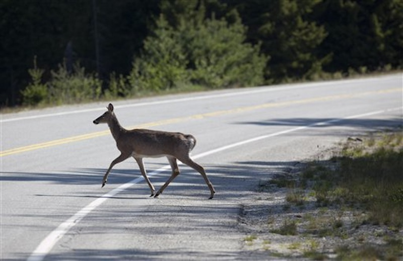 In this photo made Monday, May 21, 2012, a deer crosses a road in Acadia National Park near Northeast Harbor, Maine. Maine's sagging deer population has gotten attention from the Legislature, which adopted a multi-pronged strategy to rebuild a the number of white-tails in the state. The core of the strategy is controlling coyote kills. (AP Photo/Robert F. Bukaty)