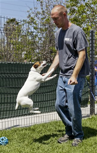 Matthew Weins, of the Society for the Prevention of Cruelty to Animals Los Angeles, works with Daisy, as he demonstrates how even smaller dogs can leap up and reach the face.