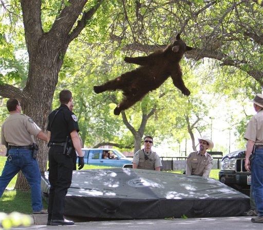 This April 26 photo provided by the CU Independent shows a bear that wandered into a University of Colorado dorm complex in Boulder falling from a tree after being tranquilized by Colorado wildlife officials.