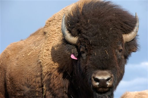In this photo taken April 24,2012 on the Fort Peck Reservation near Polar Montana showing a heard of Bison. Western lawmakers are seeking to elevate the plains bison to a status similar to that of the iconic bald eagle with legislation to declare the burly animal America�s �national mammal.� Bison advocates launched a �vote bison� public relations campaign Friday to coincide with the bill. (AP Photo/Matthew Brown)