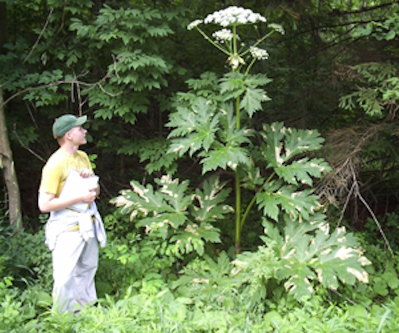 This photo shows a giant hogweed plant in New York state. The dangerous plant has begun to appear in Maine.