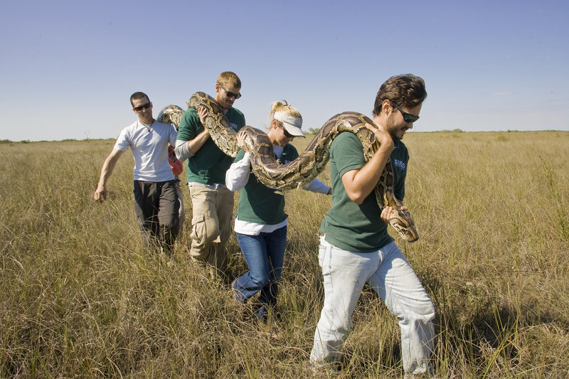 Scientists, from left, Jordan Neumann, Thomas Selby, Kristen Hart and Brian Smith carry a Burmese python out of the Everglades near Homestead, Fla.