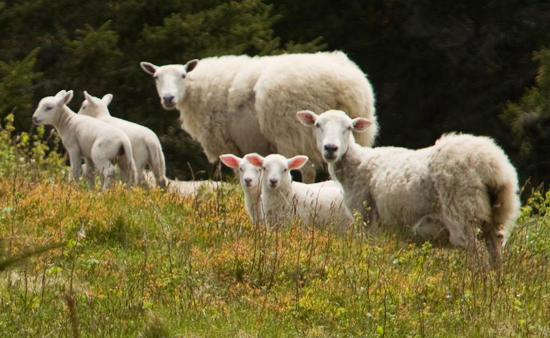 A small flock of sheep gathers on Maine Coastal Island's National Wildlife Refuge while being herded on Metinic Island, near Rockland. The sheep were being moved to make room for seabirds expected to nest on the island.
