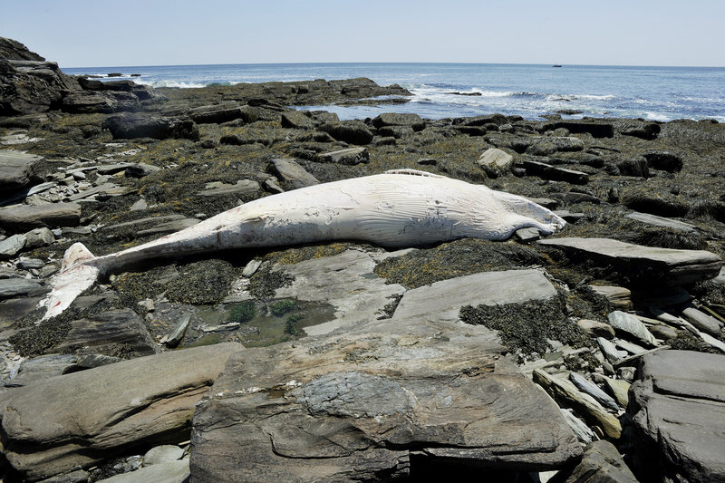 The carcass of a minke whale washed up Thursday on the rocky shoreline near Two Lights State Park in Cape Elizabeth.