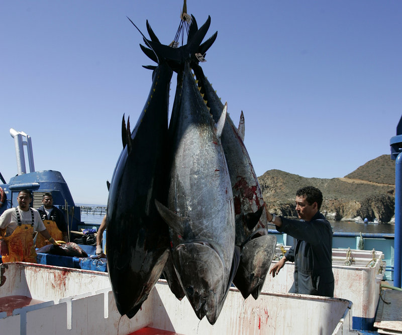 Workers harvest bluefin tuna near Ensenada, Mexico. New research found increased levels of radiation in Pacific bluefin tuna caught off the coast of Southern California.