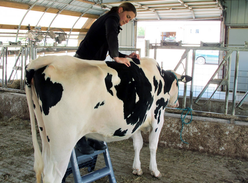 Veterinarian Sara Gilbertson performs a chiropractic adjustment on a dairy cow in Cleveland, Wis. There's no sound scientific data to back up the claims, but dairy farmers say they believe that comfortable cows give more milk.